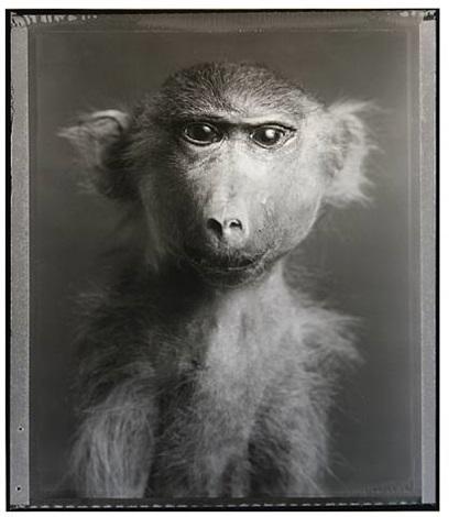"monkey (""fluffy""): portrait by bettina rheims"
