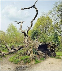 fallen oak tree by scott mcfarland