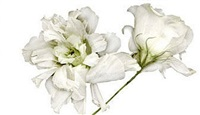 white lysianthus i by tulla booth