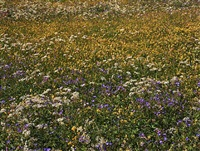 <!--02-->alpine wildflowers iv by lawrence beck