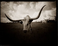 longhorn head by david michael kennedy