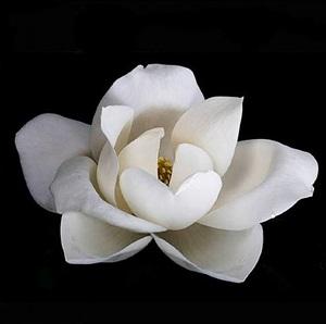 magnolia bloom by michele mattei