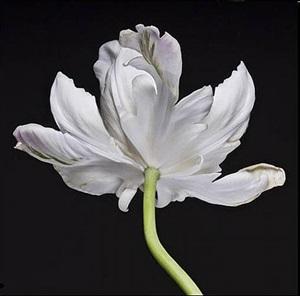 tulip on black by michele mattei