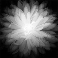 chrysanthemum, number 1 by amanda means
