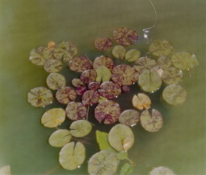 untitled pinhole (lily pads in mom's garden) by jocelyn lee