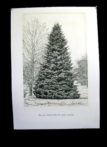 concolor silver fir by helen altman