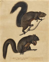 long haired squirrel by john james audubon