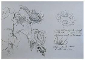 studies for sunflowers by charles ephraim burchfield