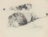 lion studies by wilhelm friedrich kuhnert