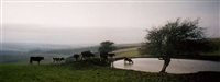 untitled (cows on south downs) by richard billingham