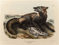 american cross fox, plate vi from 'the viviparous quadrupeds of north america' by john woodhouse audubon