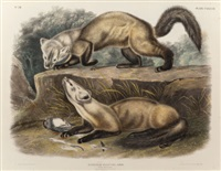 pine marten, plate cxxxviii from 'the viviparous quadrupeds of north america' by john woodhouse audubon