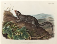 large-tailed spermophile, plate cxxxix from the viviparous quadrupeds of north america by john woodhouse audubon
