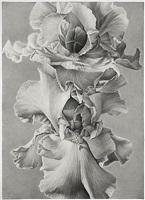 iris by joseph stashkevetch