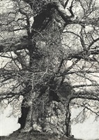drawings of old trees (summer 2010) by patrick van caeckenbergh