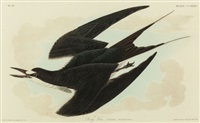 sooty tern (sterna fuscata), plate ccxxxv from the birds of america by john woodhouse audubon