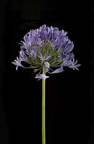 agapanthus by michele mattei