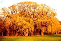 arboles de oro by diego kahlo