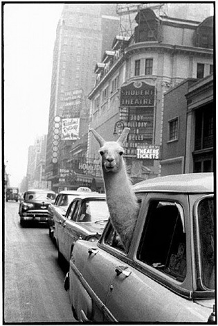 a llama in time square, new york, ny by inge morath