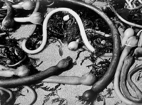 kelp by brett weston