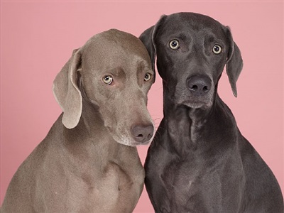 pen pals by william wegman