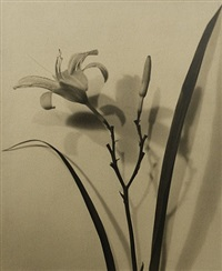 lily pattern by john moddejonge