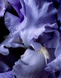 bearded iris blue by christopher beane