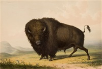 north american indian portfolio, buffalo bull, grazing (plate 2) by george catlin