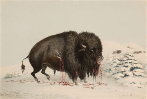 north american indian portfolio wounded buffalo bull plate 16 by george catlin