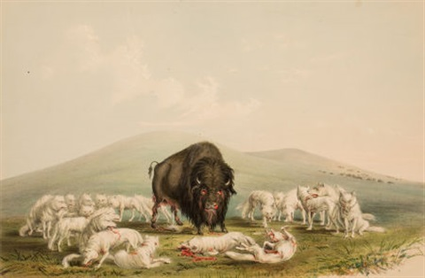 north american indian portfolio buffalo hunt white wolves attacking a buffalo bull plate 10 by george catlin
