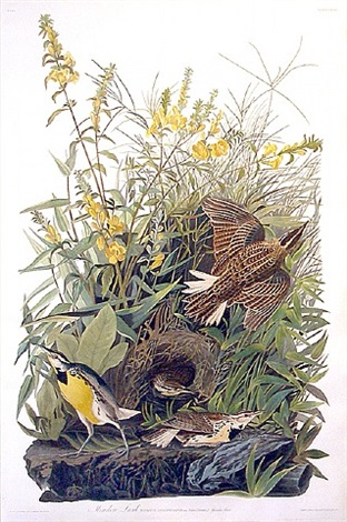 meadowlark by john james audubon