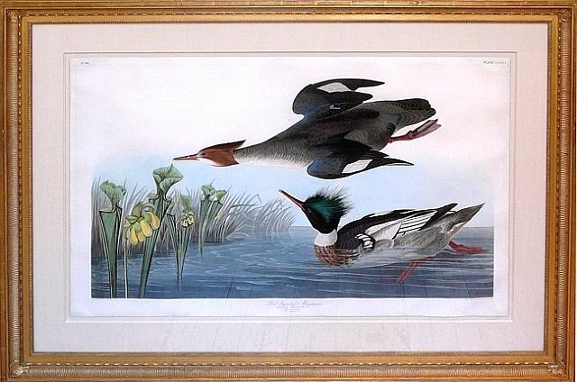 merganser by john james audubon