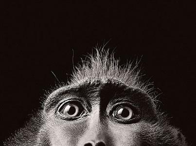 monkey eyes by timothy flach