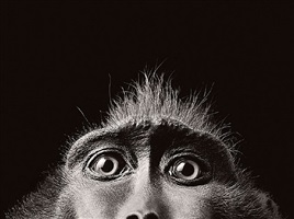 monkey eyes by timothy flach