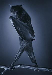 opera bat by timothy flach