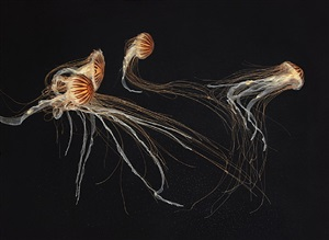japanese sea nettles i by timothy flach