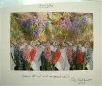 hyacinths by peter hutchinson