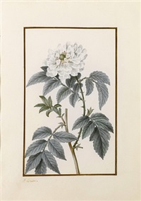 drawing for the herbier général de l'amateur: a roseleaf bramble (rubus rosifolius) by pancrace bessa