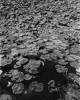 moriyama, untitled waterlilies by daido moriyama