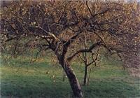 apfelbaum, schwäbische alb by simone nieweg