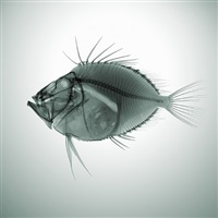 john dory by nick veasey