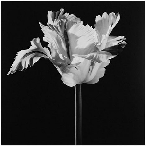 parrot tulip by robert mapplethorpe