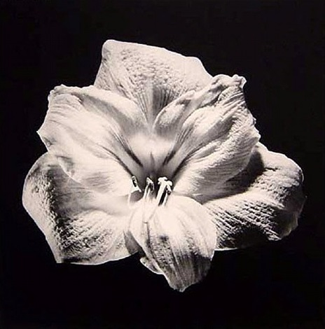 amaryllis by robert mapplethorpe