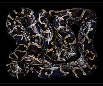 python molurus bivittus (s21) by guido mocafico