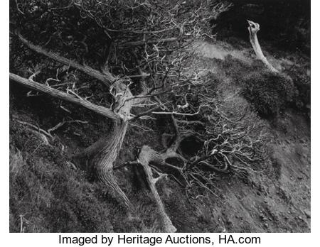 1947 Cypress, Point Lobos Edward Weston   Edward weston