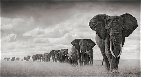 elephants walking through grass, amboseli by nick brandt