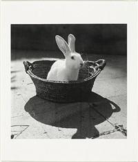 conill blanc dins d'un cabàs by joaquim gomis