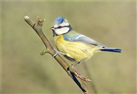 blue tit by adrian smart