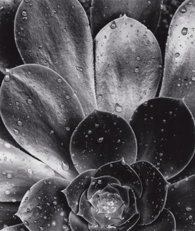 succulent by brett weston