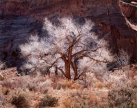 cottonwood and light, canyonlands, utah by christopher burkett
